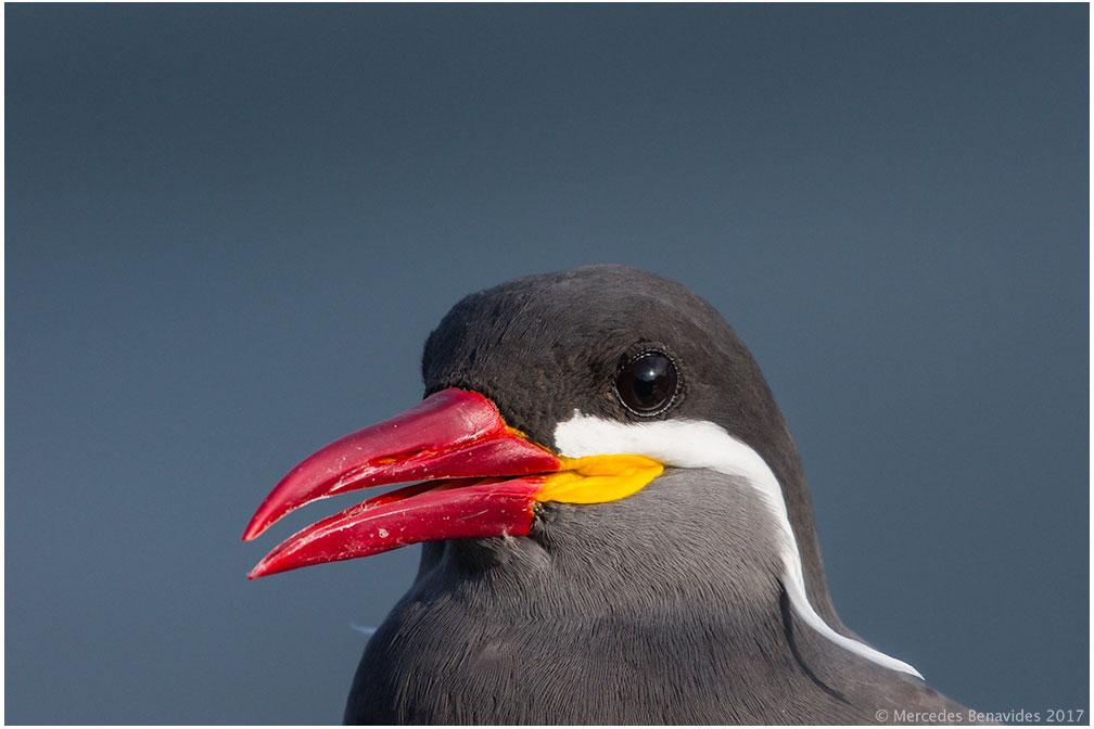 2.  Zarcillo / Inca Tern (Larosterna inca)