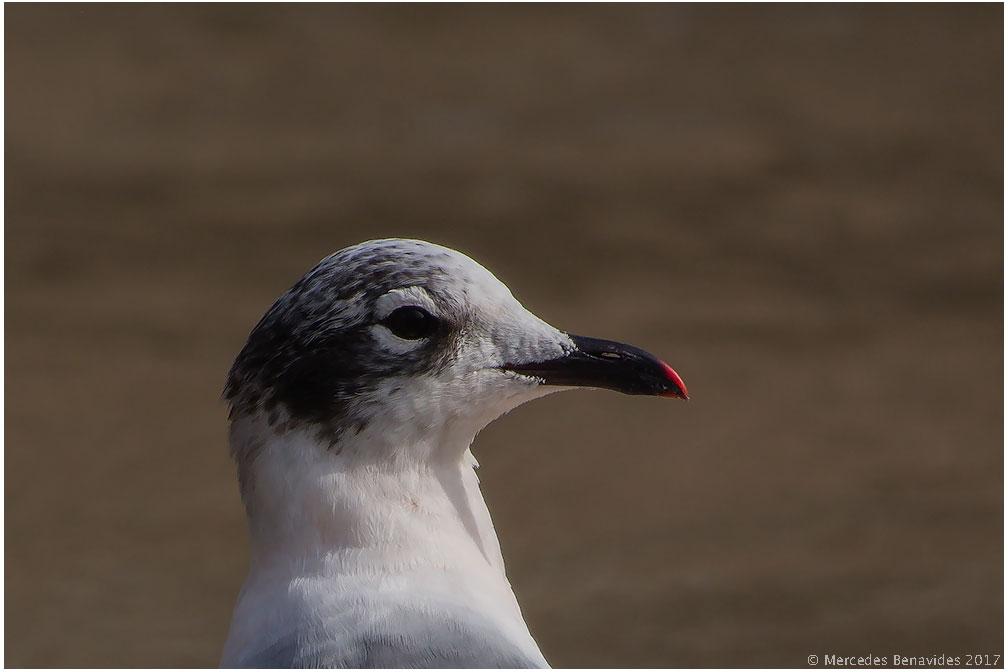 5.  Gaviota de Franklin / Franklin's Gull (Leucophaeus pipixcan)