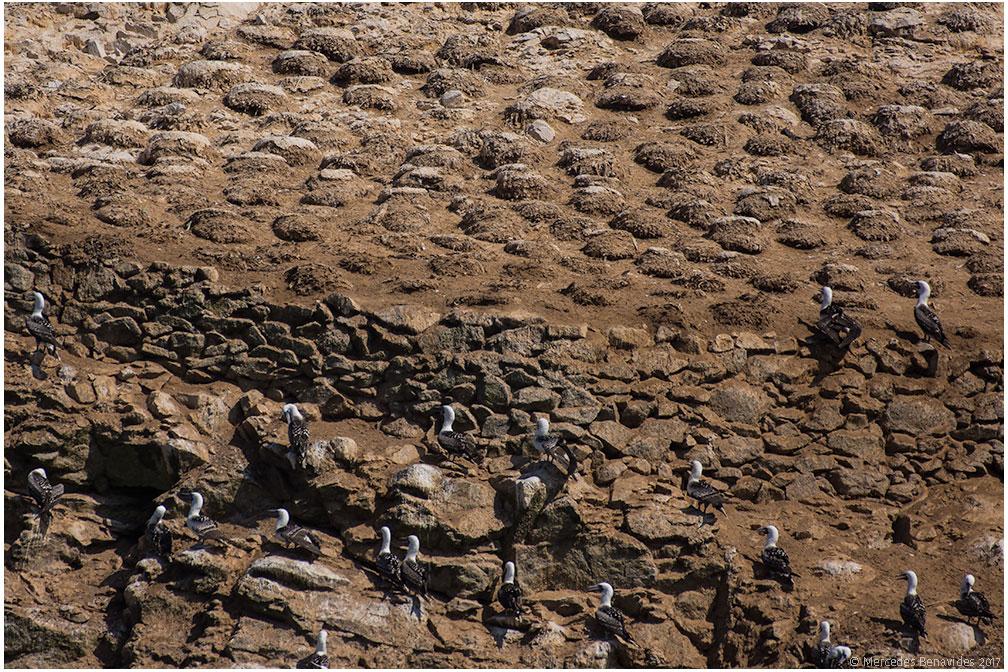 Arriba: Nidos de Guanay Cormorán /  Top: Nests of Guanay Cormorant  ( Phalacrocorax bougainvilliorum )  Abajo: Piqueros Peruanos /  Bottom: Peruvian Boobies  (Sula variegata)  Isla Pescadores /  Fishermen's Island . Mar 2017