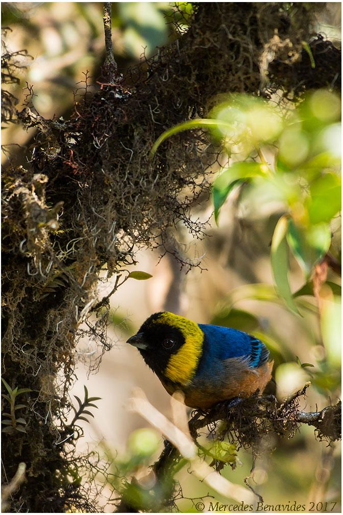 Tángara de Cuello Dorado / Golden-Collared Tanager (Iridosornis jelskii)