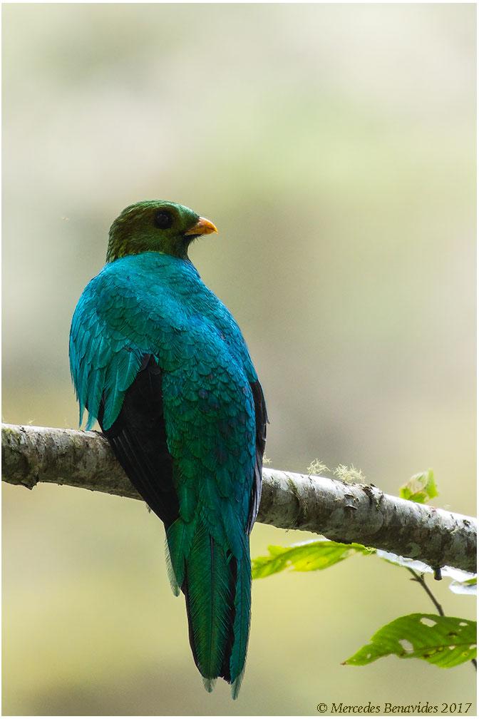 Quetzal de Cabeza Dorada / Golden-headed Quetzal (Pharomachrusauriceps)