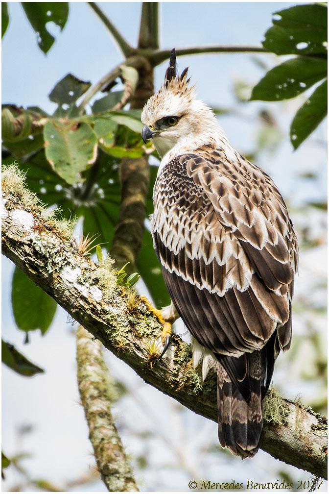 Aguila Encopetada / Black-and-Chestnut Eagle (Spizaetus isidori)