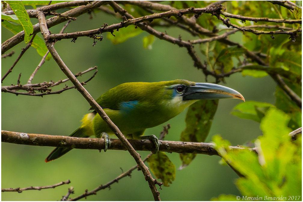 Tucaneta Banda Celeste / Blue-Banded Toucanet ( Aulacorhynchus coeruleicinctis .) 38 - 43 cm /  15 - 17 in   IUCN: (LC) Menor Preocupación /  Least Concern   Parque Nacional del Manú /  Ma  nú National Park.  Cusco + Madre de Dios