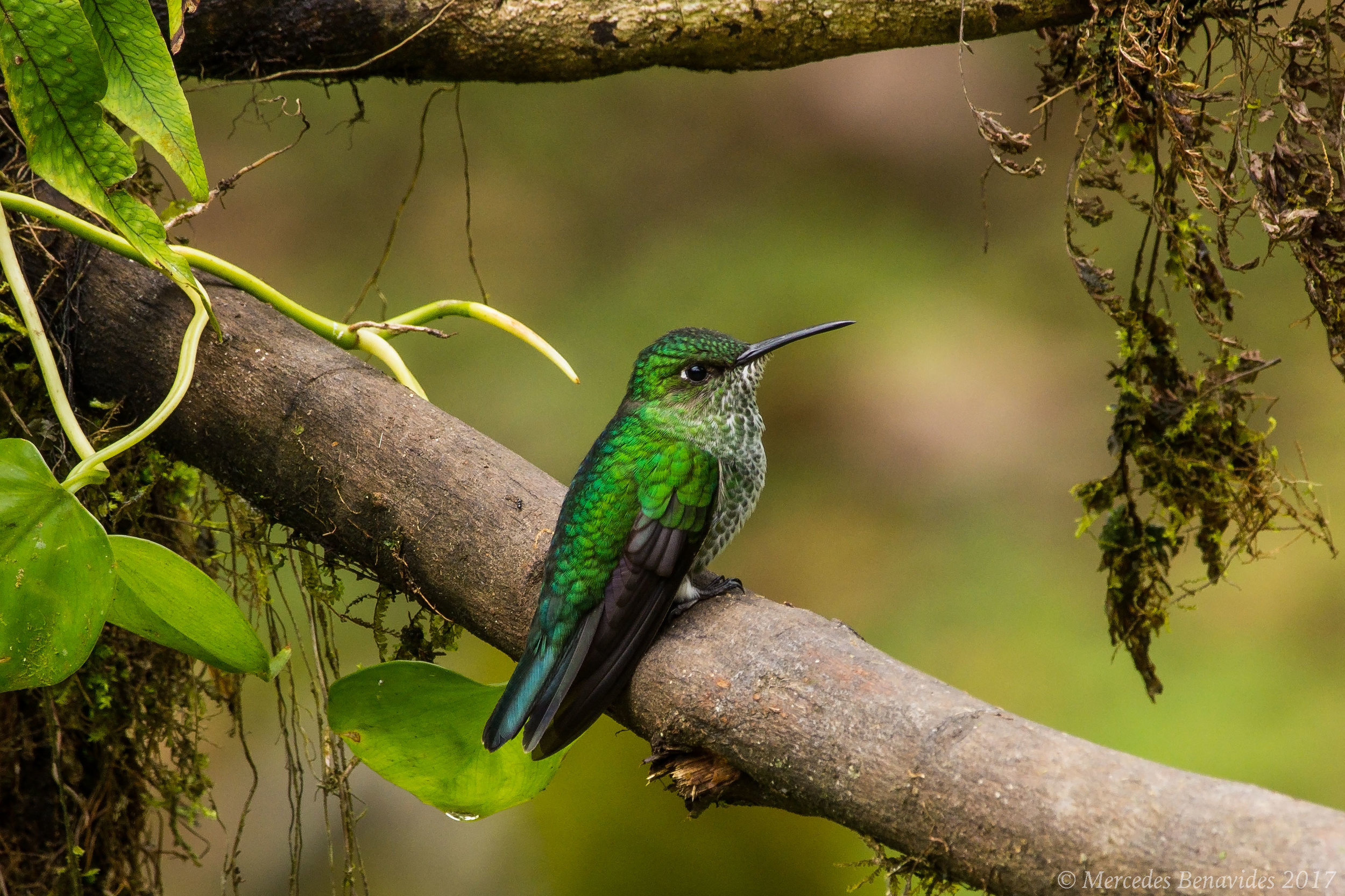 Colibrí Multipunteado /  Many-Spotted Hummingbird  ( Taphrospilus hypostictus )  IUCN: (LC) Menor Preocupación /  Least Concern   Parque Nacional del Manú /  Ma  nú National Park.  Cusco + Madre de Dios
