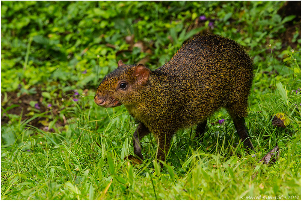 Añuje Marrón / Brown Agouti (Dasyprocta)