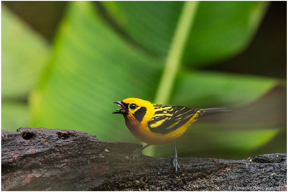 Tángara dorada / Golden Tanager (Tangara arthus)