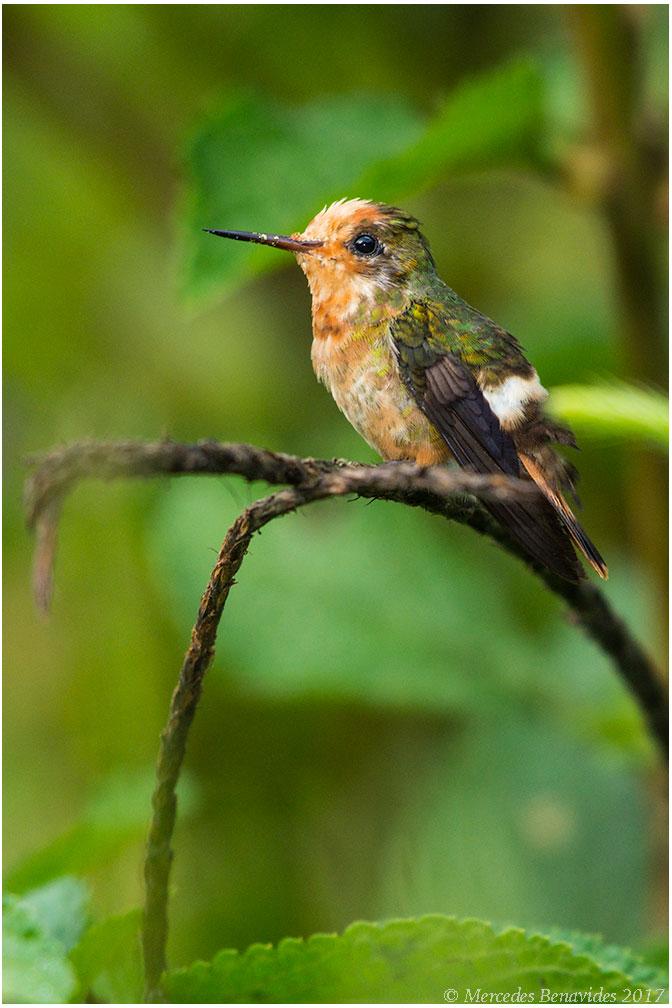 Colibrí Coqueta / Rufous-crested Coquette / (Lophornis delattrei) Hembra / Female