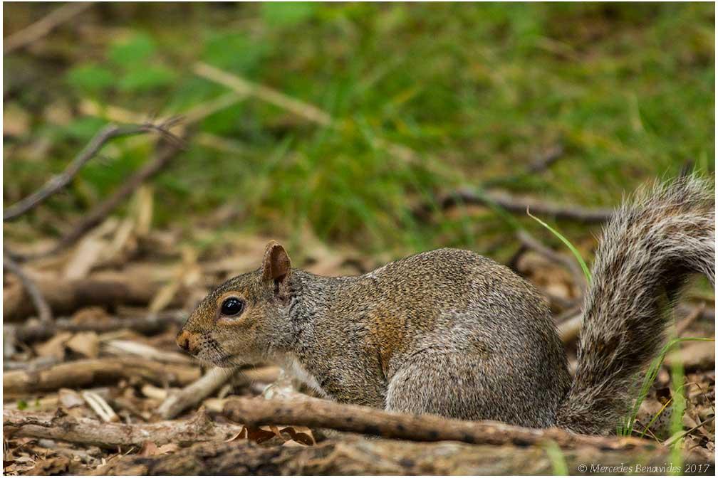 Ardilla de las Carolinas / Eastern Grey Squirrell (Sciurus carolinensis)
