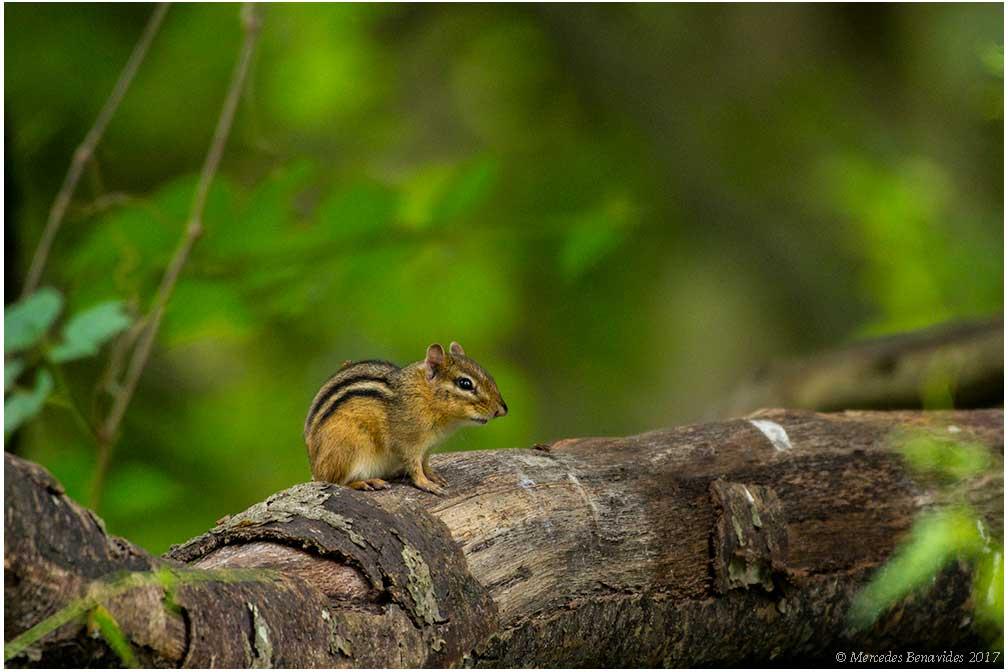 Ardilla Listada del Este Americano / Eastern Chipmunk (Tamias striatus)
