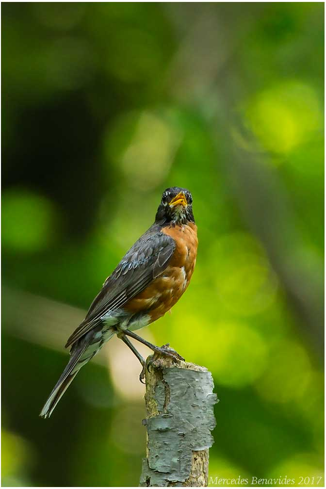 Mirlo Primavera / American Red Robin (Turdus migratorius)