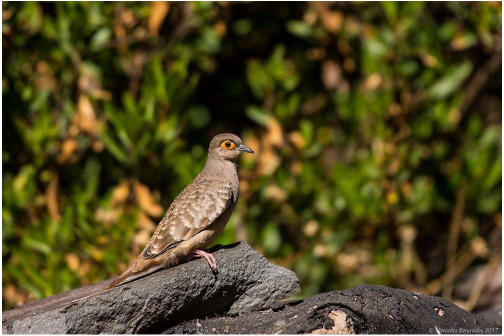 Tortolita Moteada / Bare-faced Ground-dove (Metriopelia ceciliae)