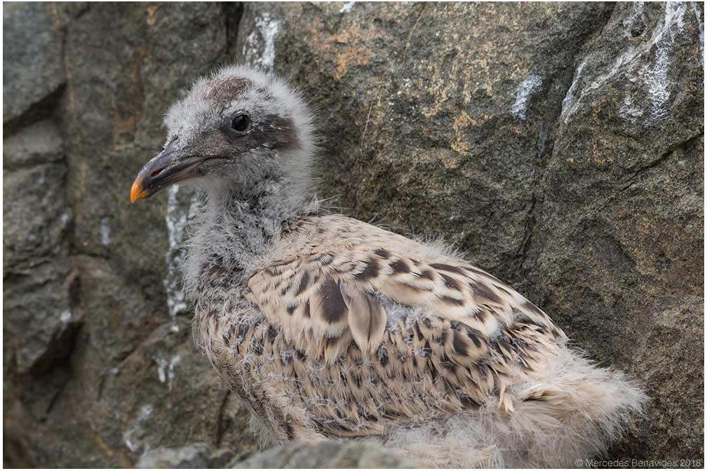 Gaviota Peruana /  Belcher's Gull  ( Larus belcheri ). Pichón  / Chick   IUCN: (LC) Menor Preocupación /  Least Concern   Enero 22, 2018 /  January 22, 2018.  Bahía de Pucusana /  Bay of Pucusana . Lima, PERU