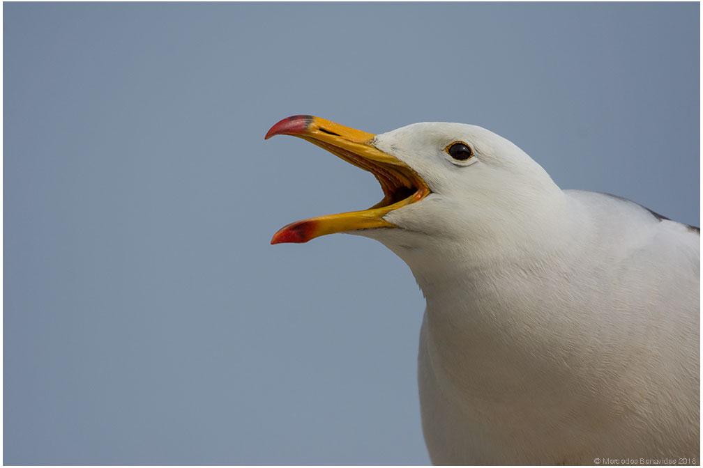 Gaviota Peruana /  Belcher's Gull  ( Larus belcheri ). Adulto /  Adult   IUCN: (LC) Menor Preocupación /  Least Concern   Bahía de Pucusana /  Bay of Pucusana . Lima, PERU