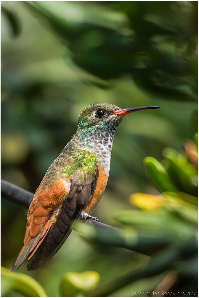 Colibiri Amazilia Costeño / Amazilia Hummingbird (Amazilia amazilia) 9-10 cm /  3 1/2 - 4 in    IUCN: (LC) Menor Preocupación /  Least Concern   Lima, PERU