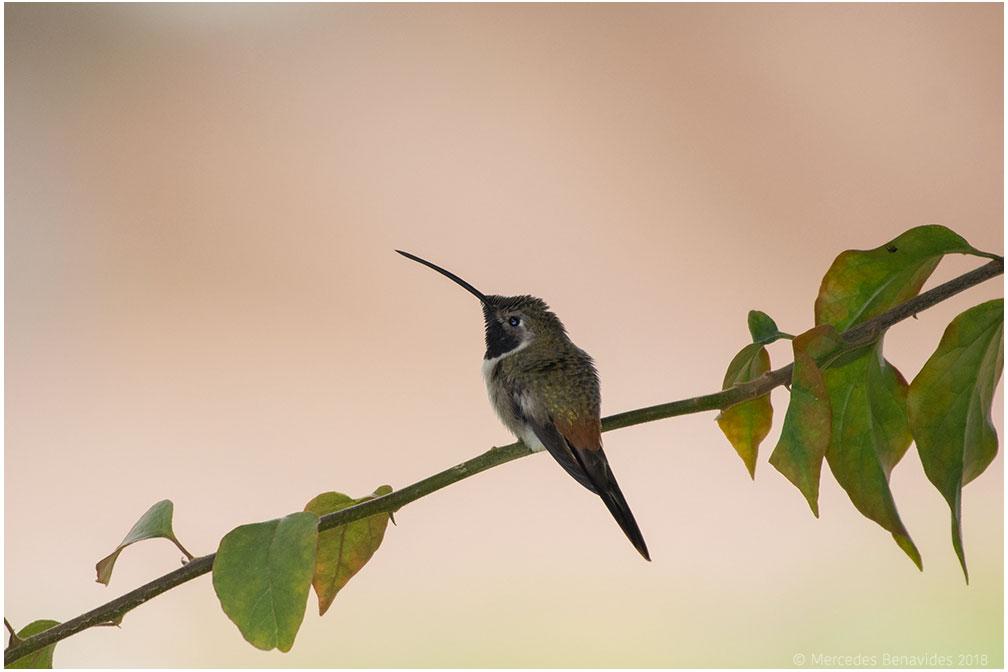 Colibrí Oasis / Oasis Hummingbird (Rhodopis vesper)