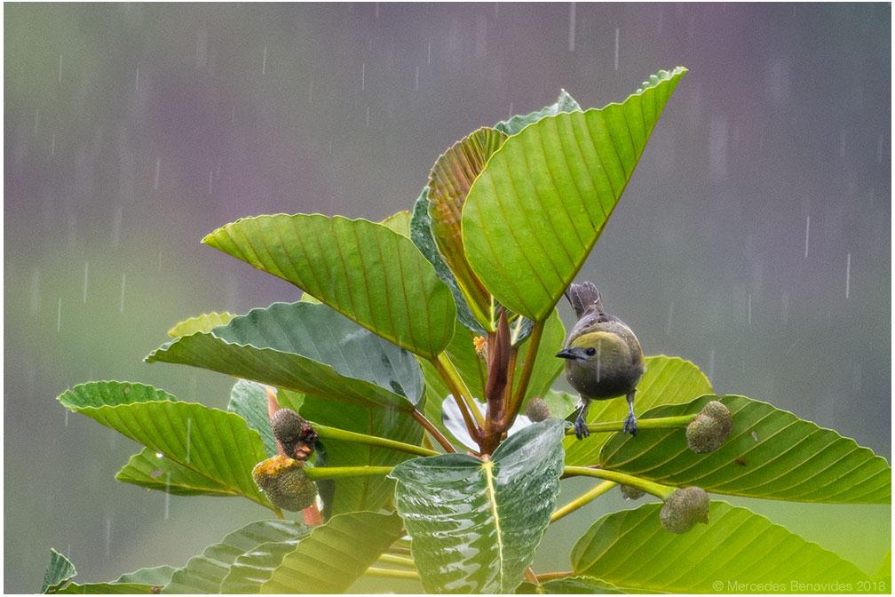 Tangara de Palmera /  Palm Tanager  ( Thraupis palmarum ). 17 - 19 cms / 6 1/4 -  7 1/2 inches.    IUCN: (LC) Menor Preocupación  / Least Concern   Restaurante Típico el Mono y la Gata, Carretera Tarapoto - Yurimaguas, Km 15, Tarapoto, San Martín, PERU