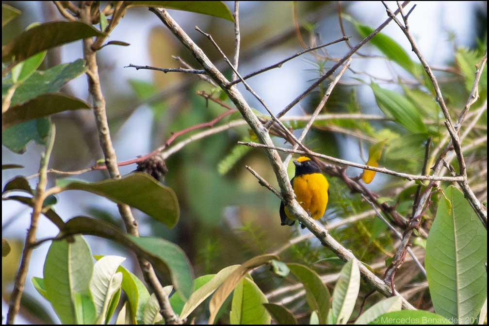 Eufonia Buchinaranja / Orange-bellied Euphonia (Euphonia xanthogaster)
