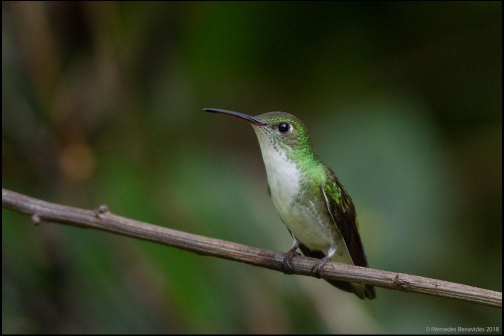 Colibrí de Vientre Blanco / White-bellied hummingbird (Amazilia chionogaster)