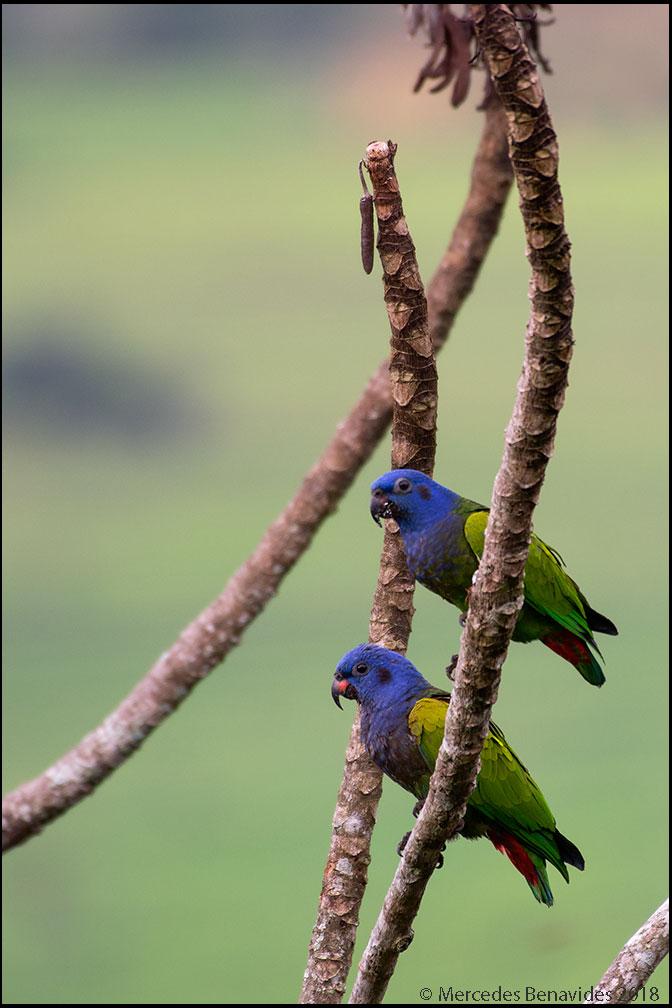 Loro Cabeciazul /  Blue-headed Parrot  ( Pionus menstruus ) 24.5 - 27 cms / 9 1/2 - 10 1/2 ins)  IUCN: Riesgo de Extinción /  Risk of Extinction : (LC) Menor Preocupación /  Least Concern   Altavista Casahotel, Ciudad de Moyobamba, Provincia de Moyobamba, Región San Martín, PERU. 860 msnm /  2,821 fasl
