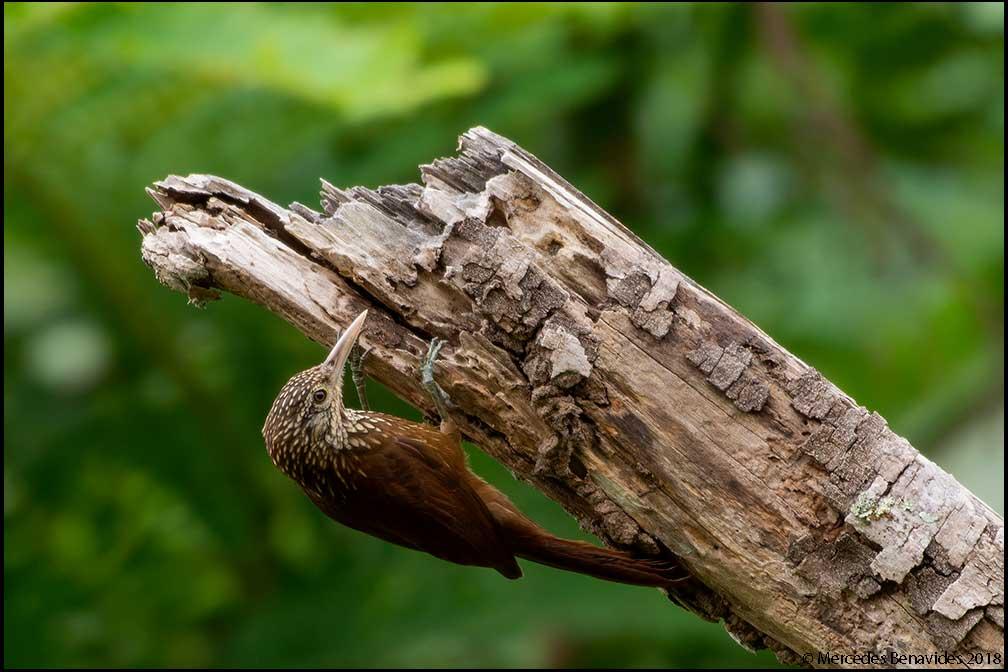 Trepador de Pico Recto / Straight-billed Woodcreeper (Dendroplex picus)