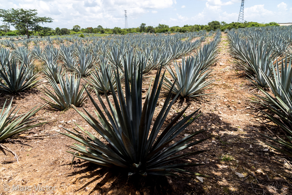 Hire Tequila expert for private tequila tasting party
