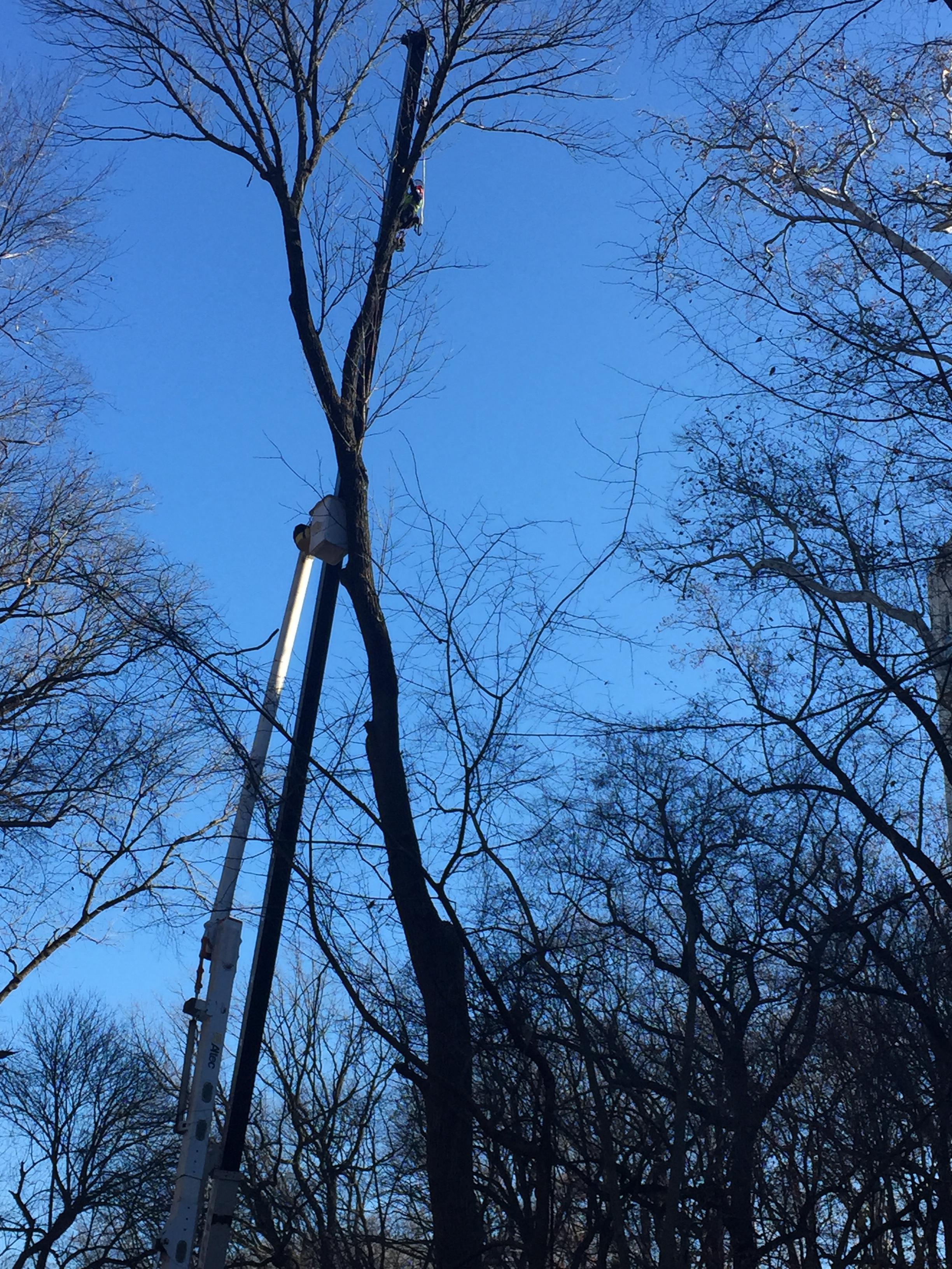 Crews remove an Ash tree along Klingle Road.