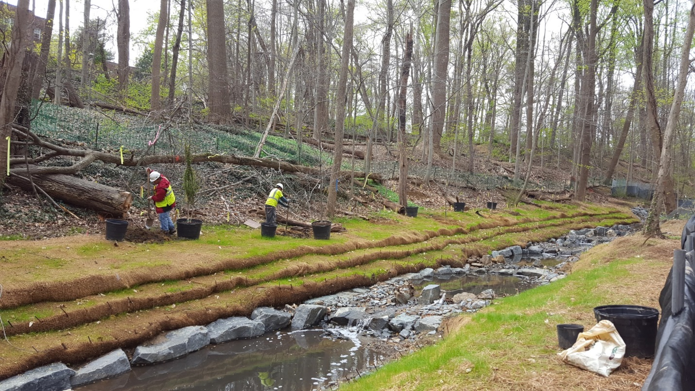 Planting trees along the restored stream banks in Segment 1