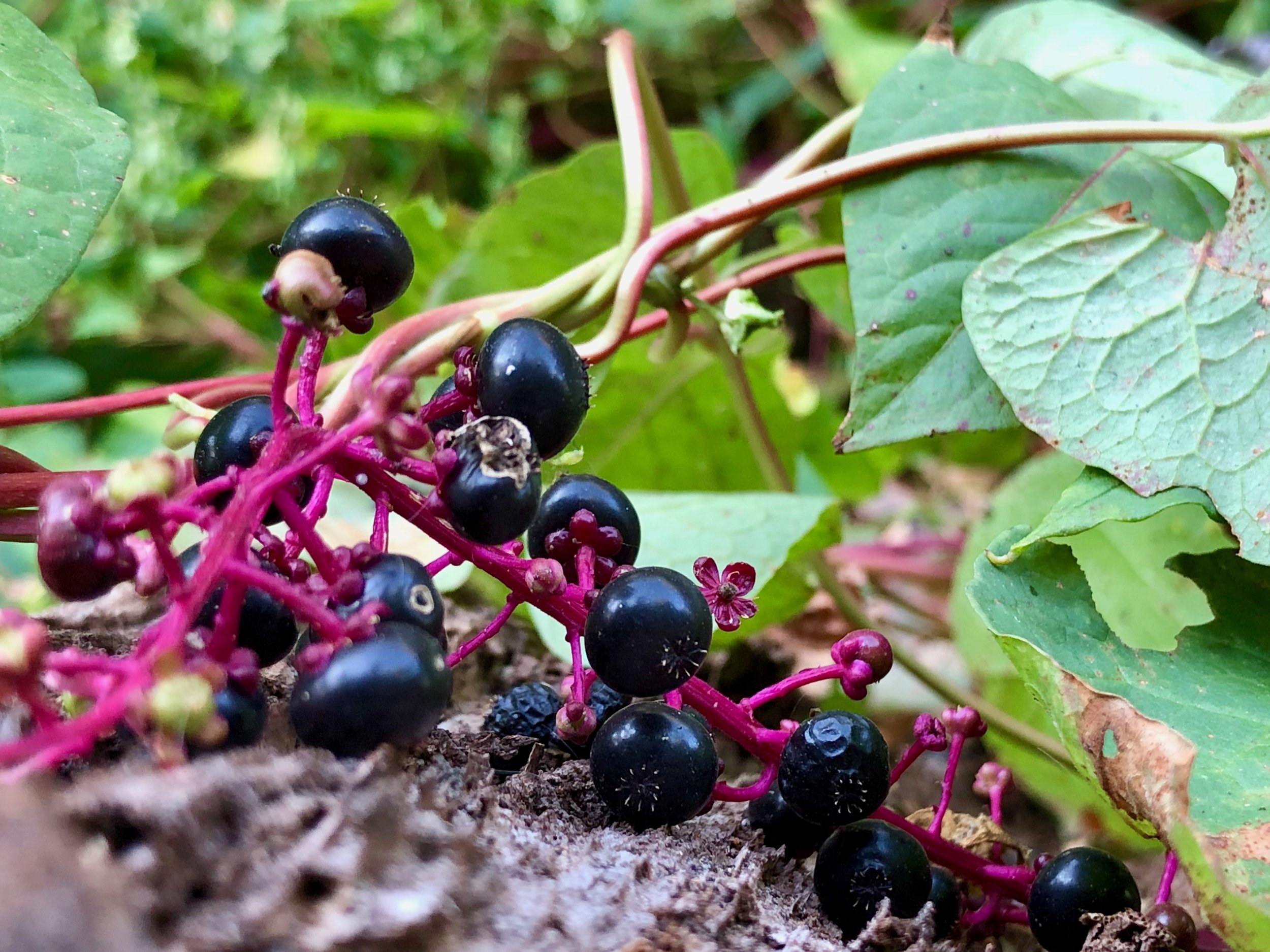 This wasn't the portrait camera, I just got super close to this bunch of fallen berries and fired off a few shots. The colors in particular are what made me stop and march into some overgrowth to get this one.