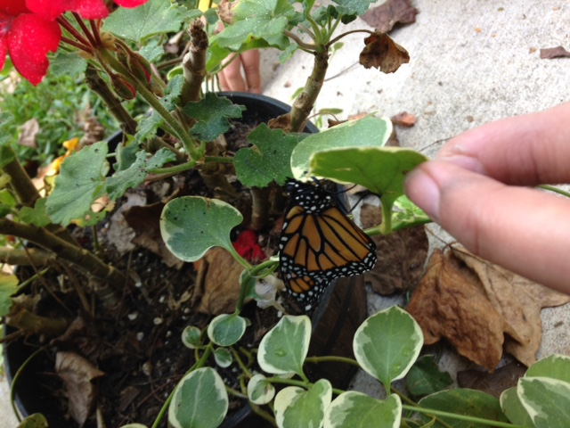 Here a male Monarch has just emerged. Males have thiner wing veins and two little black dots on the lower wings.