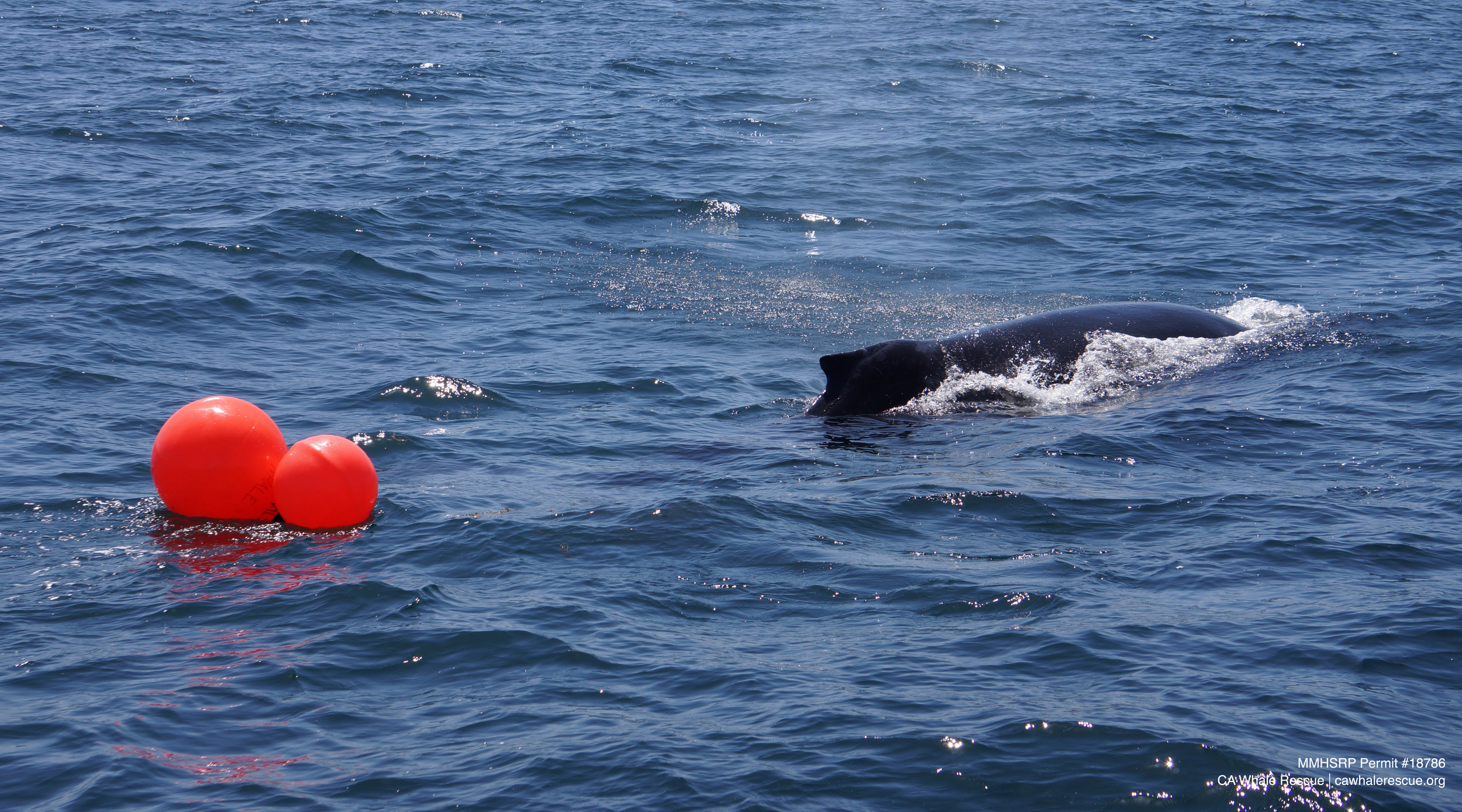 Humpback whales are darker in color, have long pectoral flippers and a more pronounced dorsal fin than gray whales.