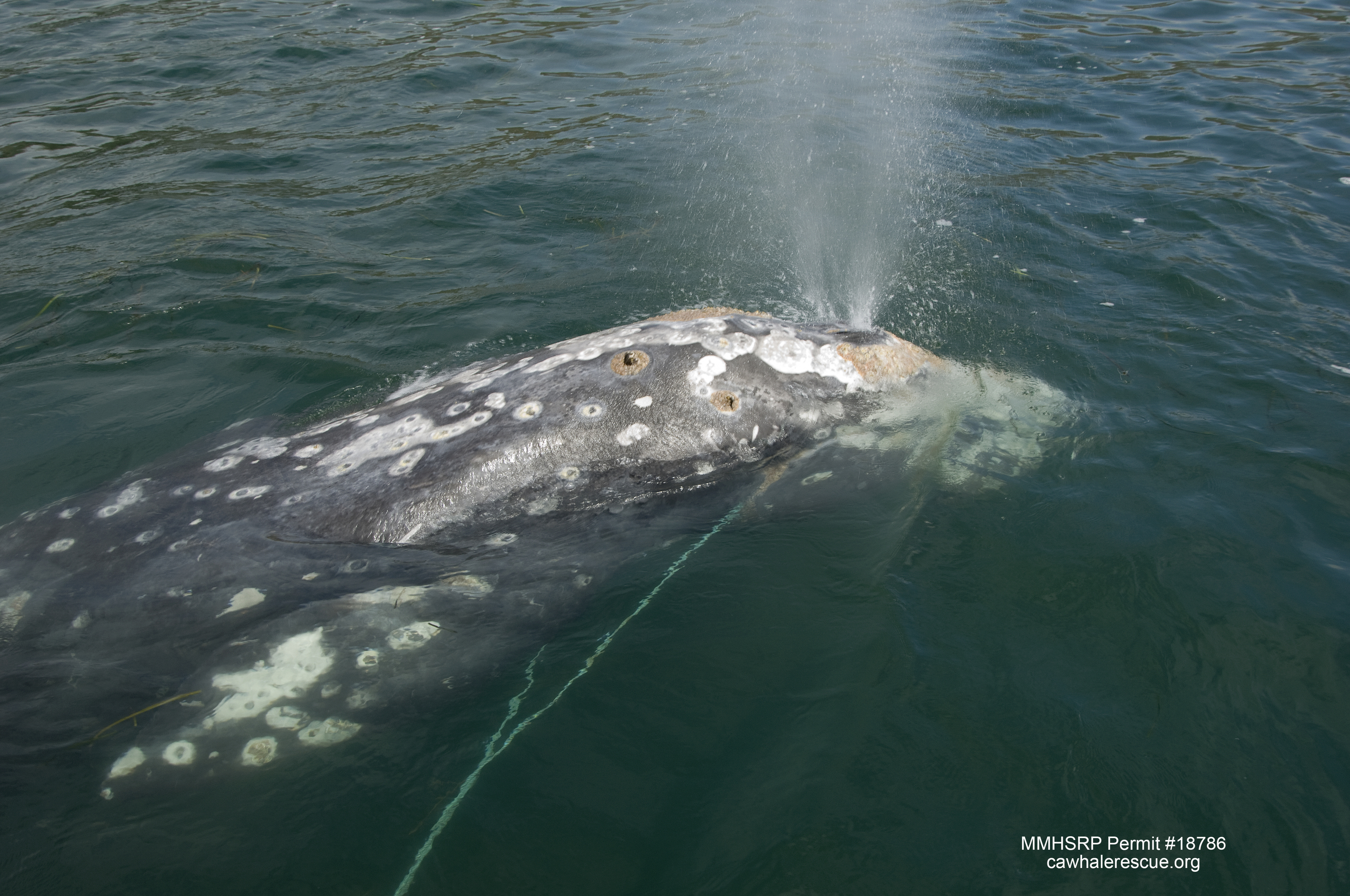 Gray whales are a lighter gray color, do not have a pronounced dorsal fin, and typically have more visible barnacles and other parasites.