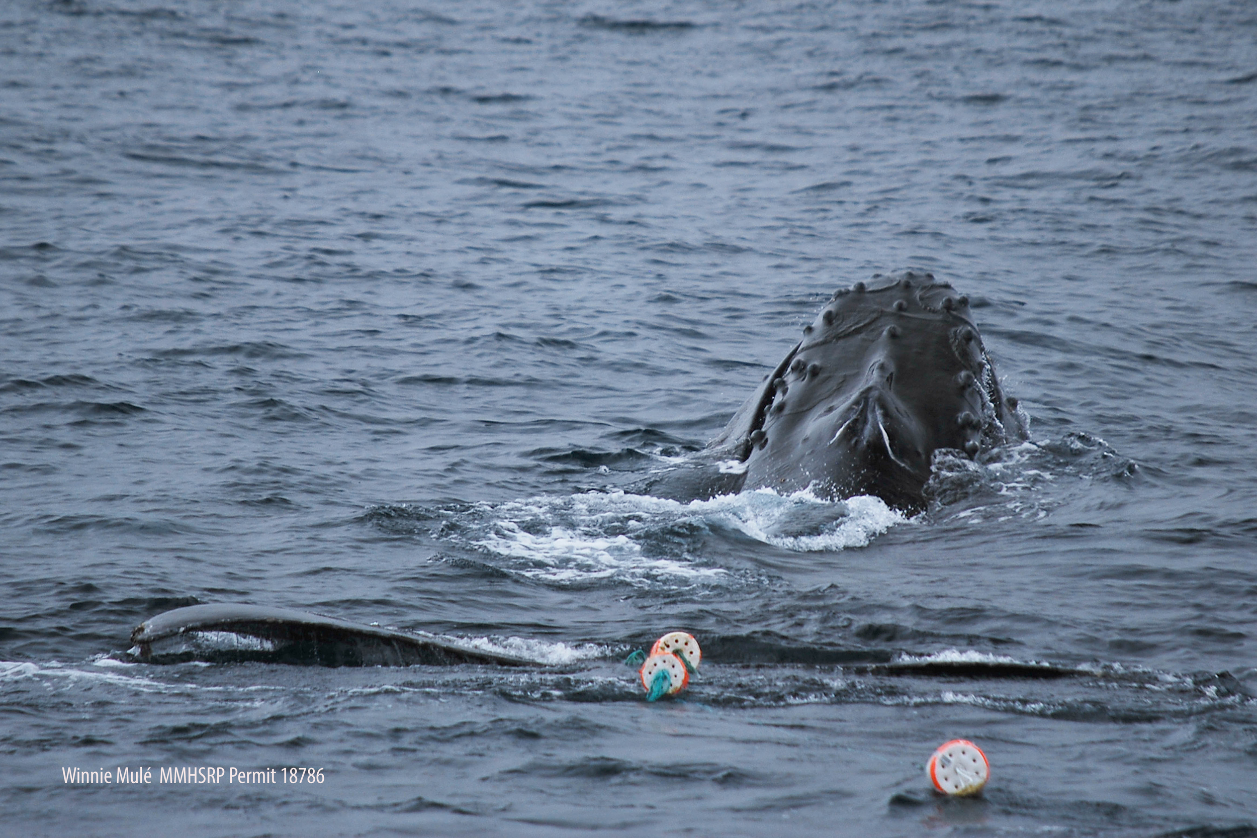 The entangled humpback whale was trailing crab pot line and buoys.