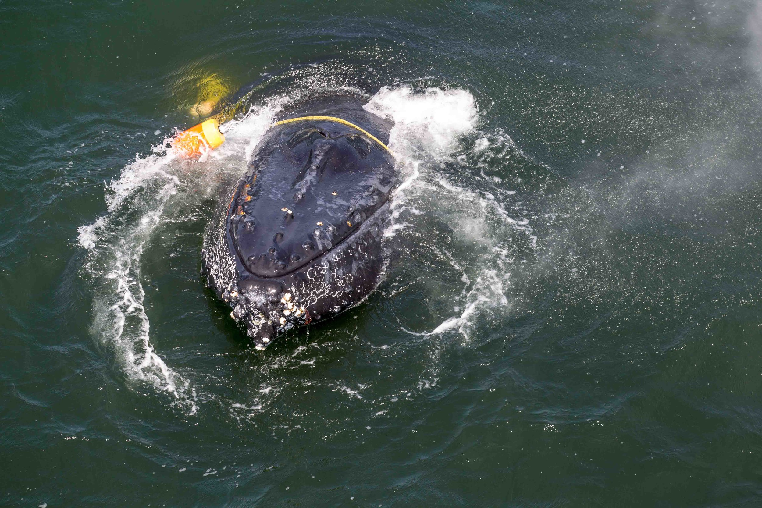 A humpback whale entangled in fishing gear surfaces for air about two miles off Crescent City, California. Disentanglement teams working with local fishermen and others freed the whale on Tuesday July 19. Photo credit: Bryant Anderson/NOAA Fisheries, taken under NOAA Fisheries MMHSRP Permit# 18786-01