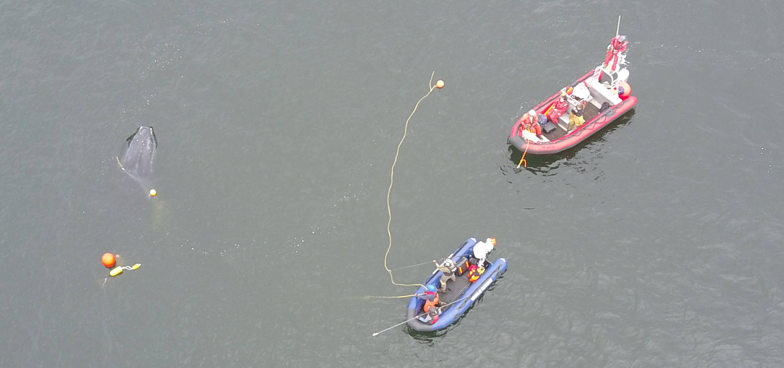 In this aerial photo taken by a drone, disentanglement teams work to free a 25-foot long humpback whale entangled in fishing gear. The whale is visible on the left and the crew in the blue boat is attempting to access the lines to cut the whale free. Photo credit: Ben Lester/NOAA Fisheries, taken under NOAA Fisheries MMHSRP Permit# 18786-01
