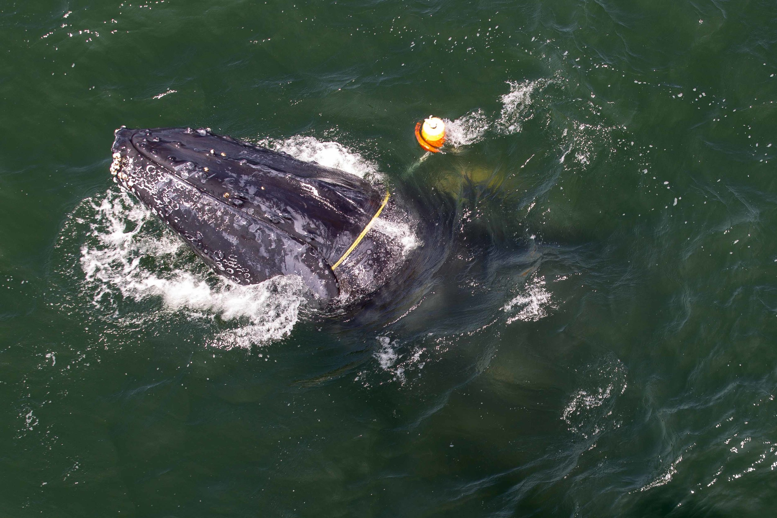 The humpback whale was severely entangled, with multiple lines of fishing gear weighing down its tail. With the help of local fishermen, disentanglement teams took some tension off the lines to help access them and cut the whale free. Photo credit: Bryant Anderson/NOAA Fisheries, taken under NOAA Fisheries MMHSRP Permit #18786-01