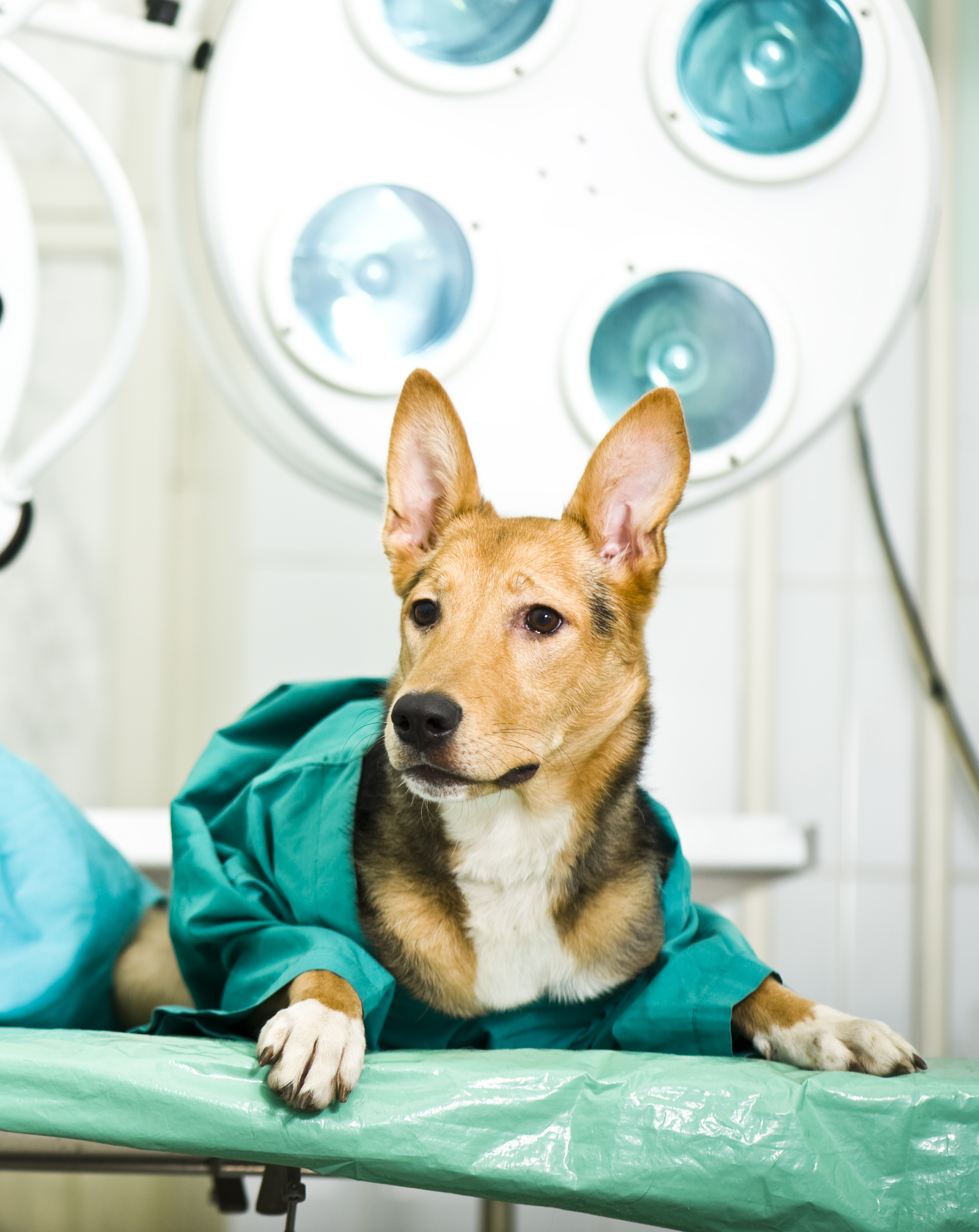 Dog on Surgery Table