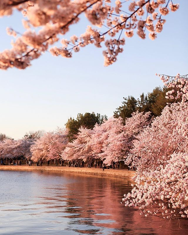 Time to add visit the Cherry Blossoms in DC to your bucket list 🌸😍
