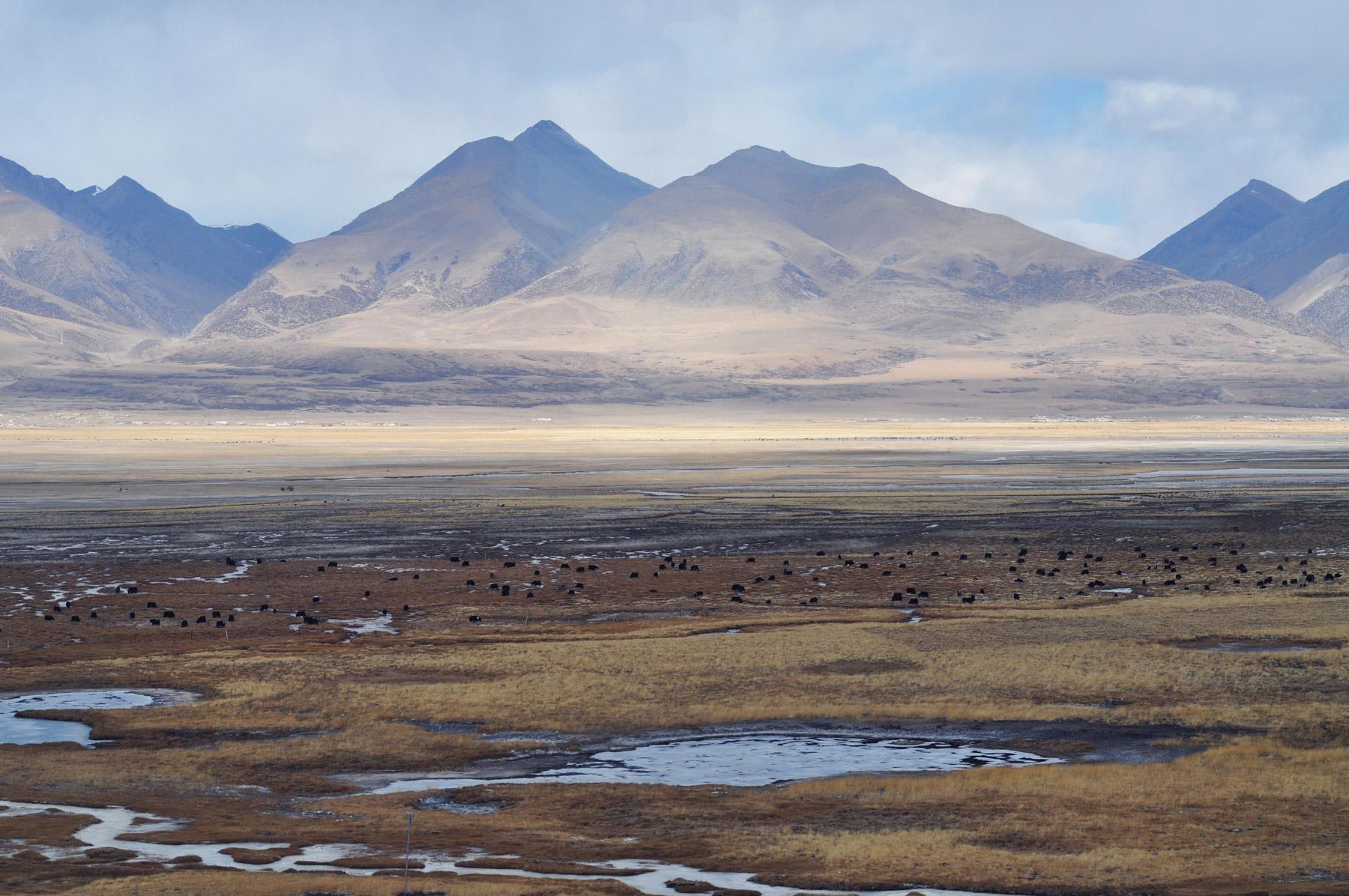 Yak Herd, Tibet