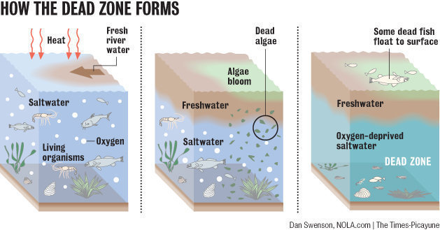 When nutrient-rich freshwater creates a layer atop the saltier Gulf waters, nitrogen and phosphorus feed huge algae blooms. When the algae die, they sink into the saltier water below and decompose, using up oxygen to create the dead zone. Dan Swenson, NOLA.com | The Times-Picayune