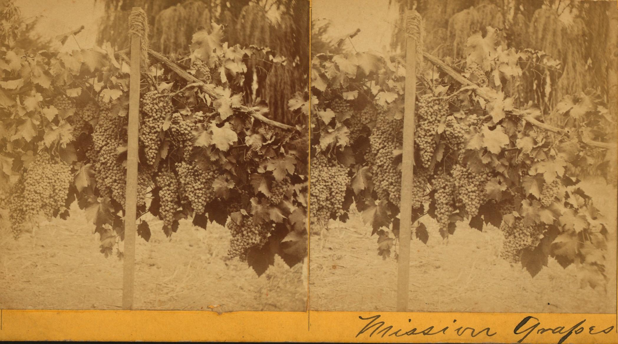 Early photo of the Mission grape, Santa Barbara, circa 1875.