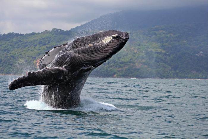 Imagen de una ballena jorobada en la Isla de Gorgona: tomado de    https://www.colombia.co/parques-naturales/8-lugares-en-colombia-ideales-para-los-amantes-del-ecoturismo/