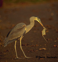 Great Blue Heron with rat