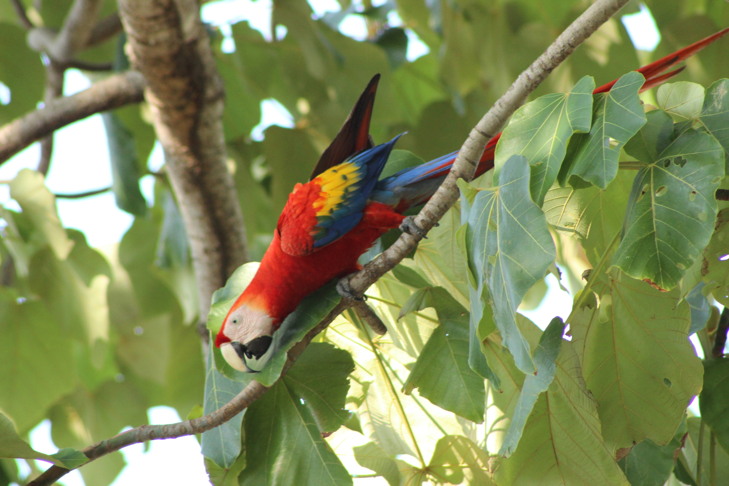 Scarlet Macaw (Costa Rica)