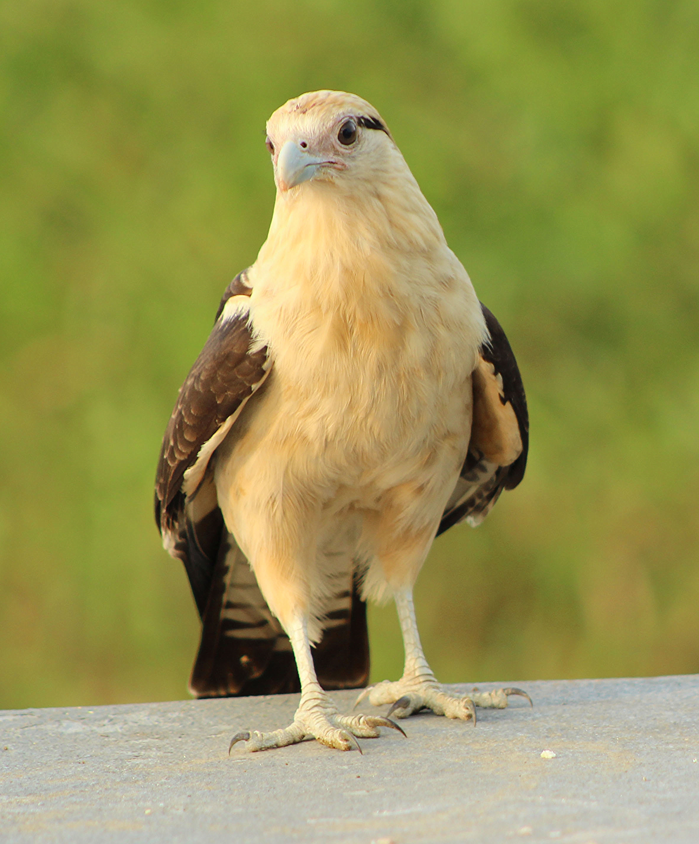 Yellow-headed Caracara (Costa Rica)