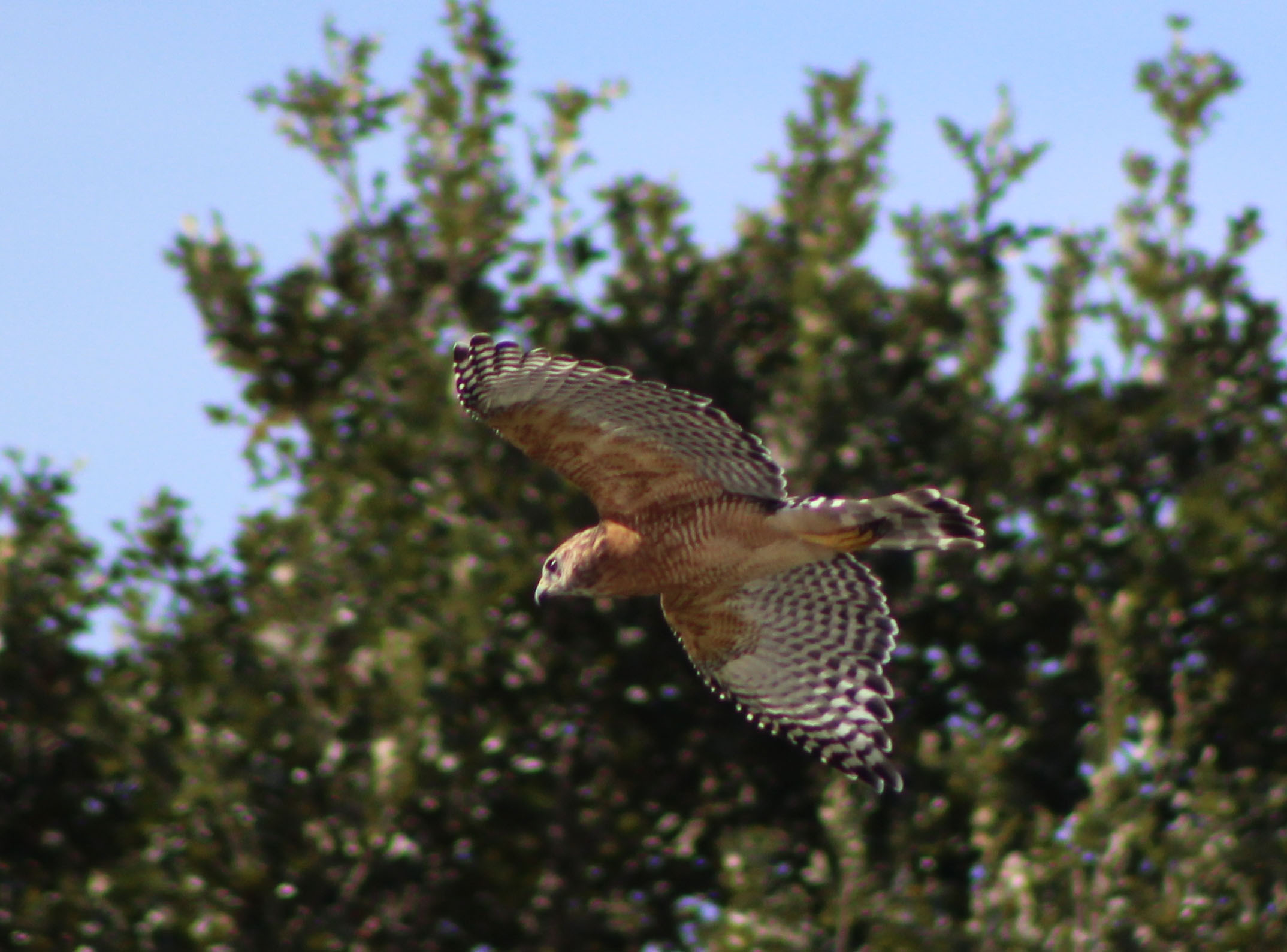 Red-shouldered Hawk (Paige, TX)