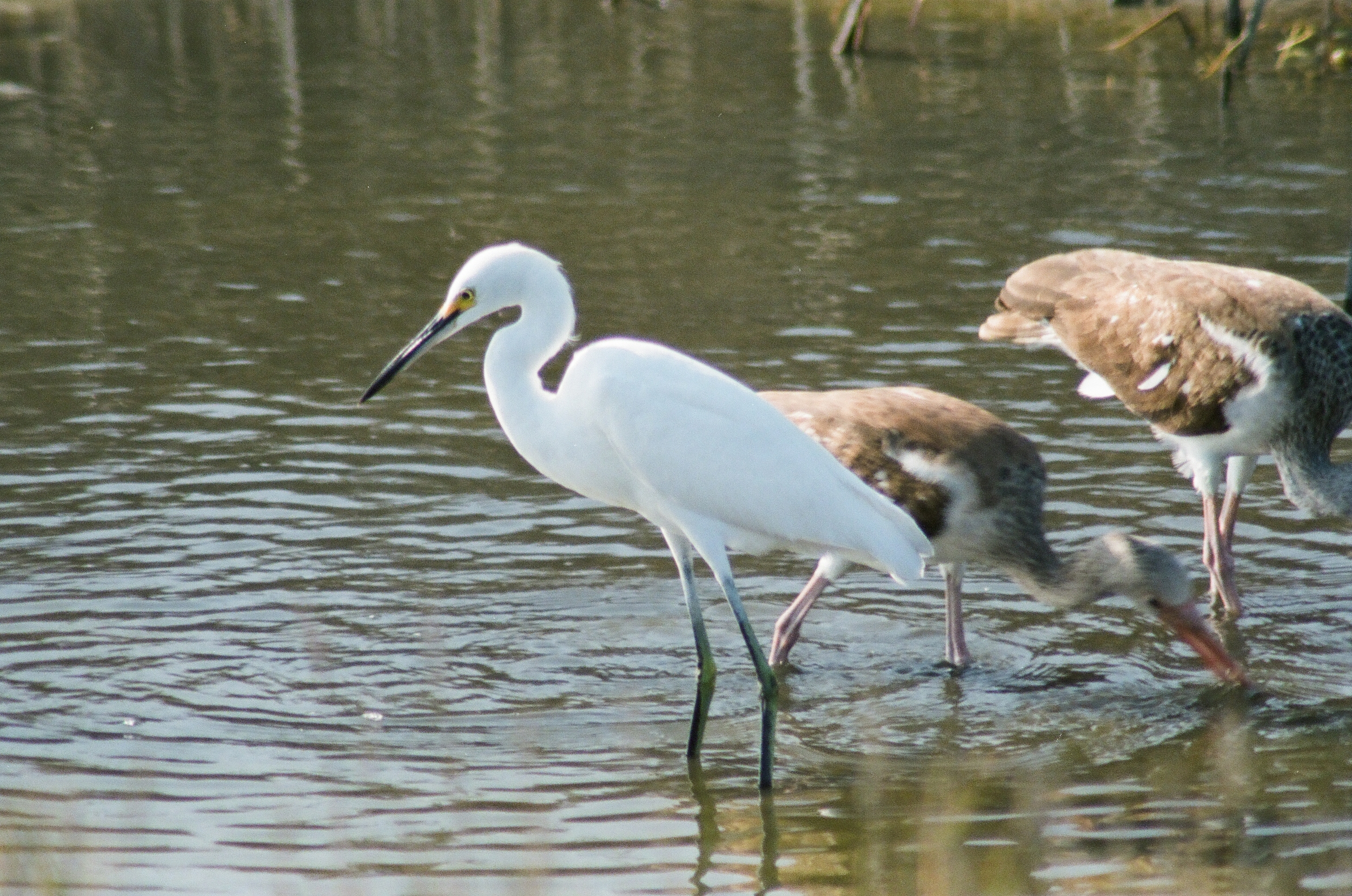 Snowy Egret with two juvenile White-faced Ibis