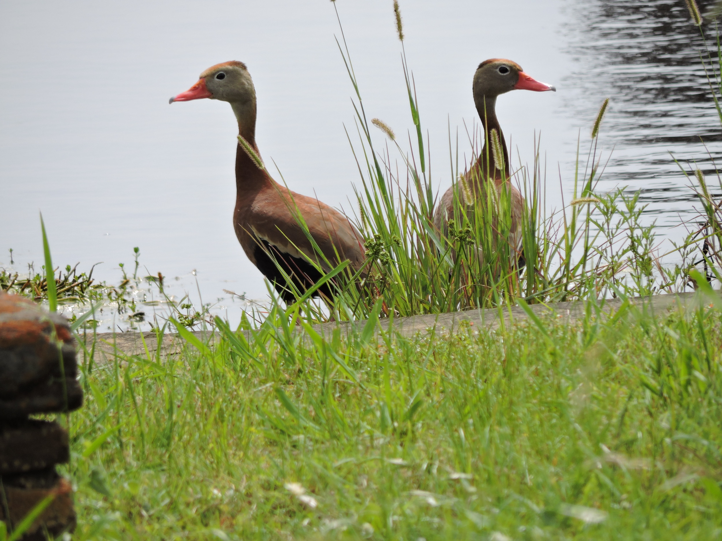 Black-bellied Whistling Ducks, Bastrop S. P.