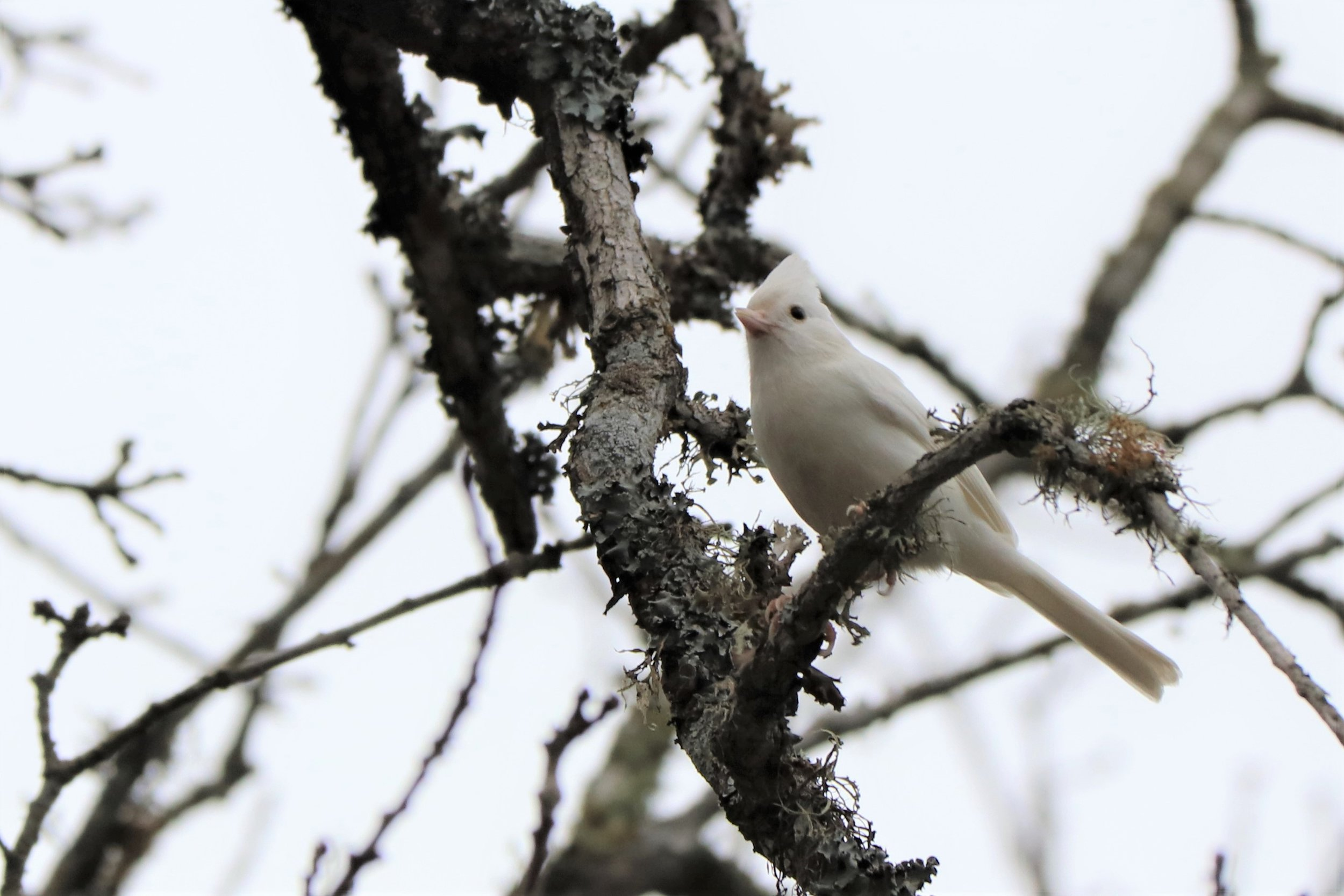 White Tufted Titmouse IMG_5085.JPG