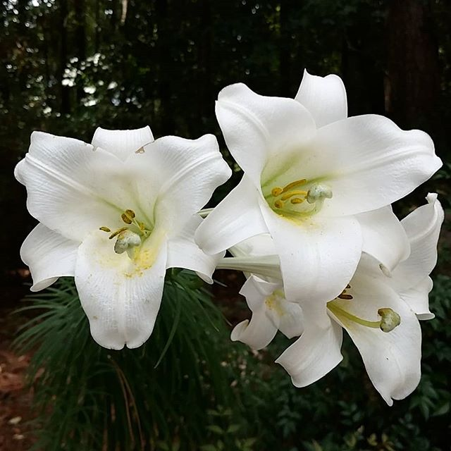 When mother nature gives you beauty, show respect by admiring it. . . . . #imagestudiosgroup #organic #lily #whitelily #beautiful #whiteflowers