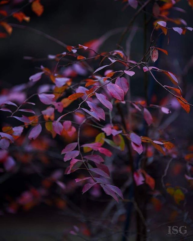 Winter blankets my trees in beautiful plum and crimson leaves. . #imagestudiosgroupllc #naturalphotography #leaves #colorful